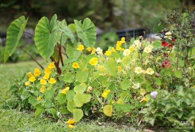 garden with taro, flowers
