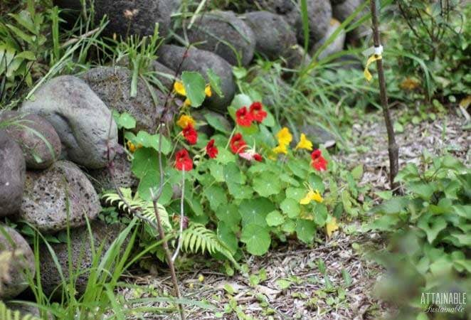 red and yellow flowers growing against a black rock wall