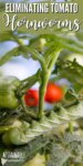 tomato hornworm on a plant with red tomatoes behind