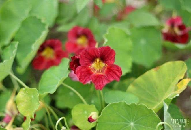 burgundy nasturtium flowers