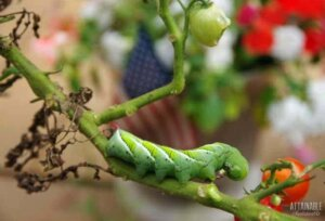 TOMATO hornworm on a plant