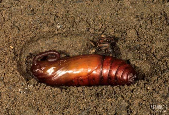 pupae of tomato hornworm