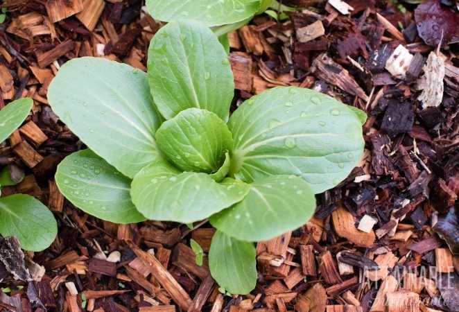 Bok Choy plant in soil