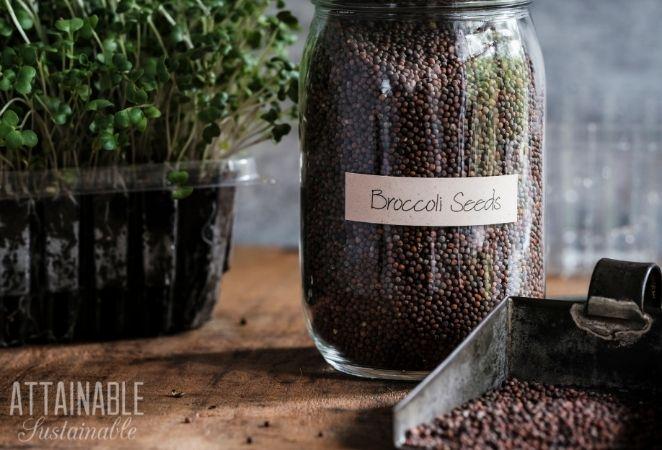 Broccoli Seeds in a msaon jar