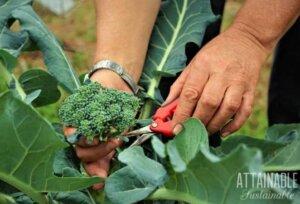 Hands harvesting Broccoli