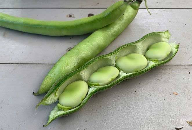 fresh fava beans, one open and showing beans