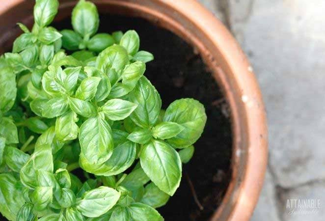 basil plants in a clay pot from above