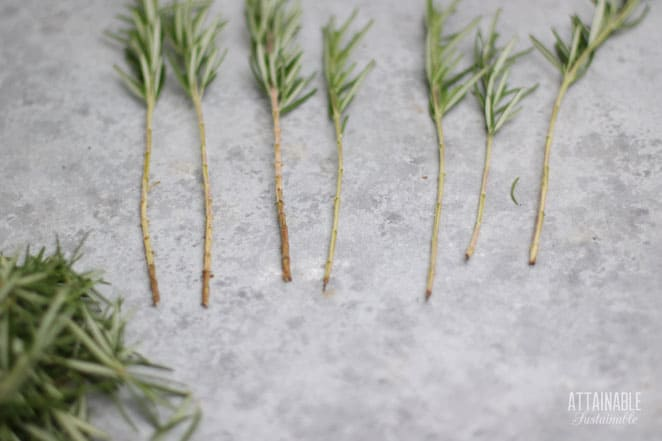 plant stems in a line, with half of the leaves removed for propagation