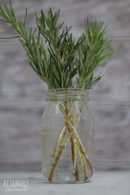 stems of rosemary in a glass jar