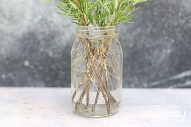 roots visible on plant stems in a jar