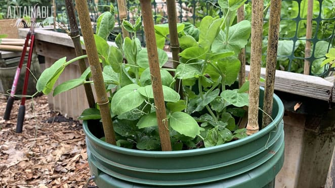 pea plants growing in a green 5 gallon bucket