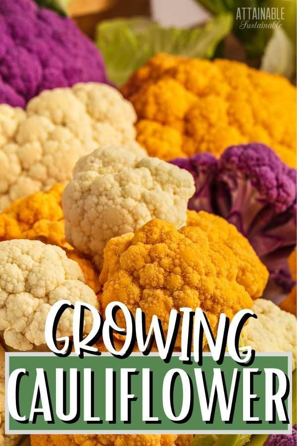 Multi-colored Cauliflower Heads, titled Growing Cauliflower