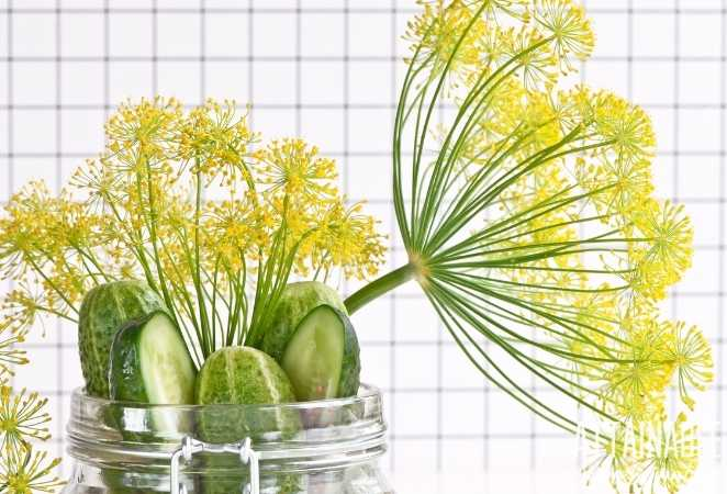 Dill flowers and cucumbers for Pickles