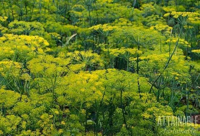 Flowering Dill plants