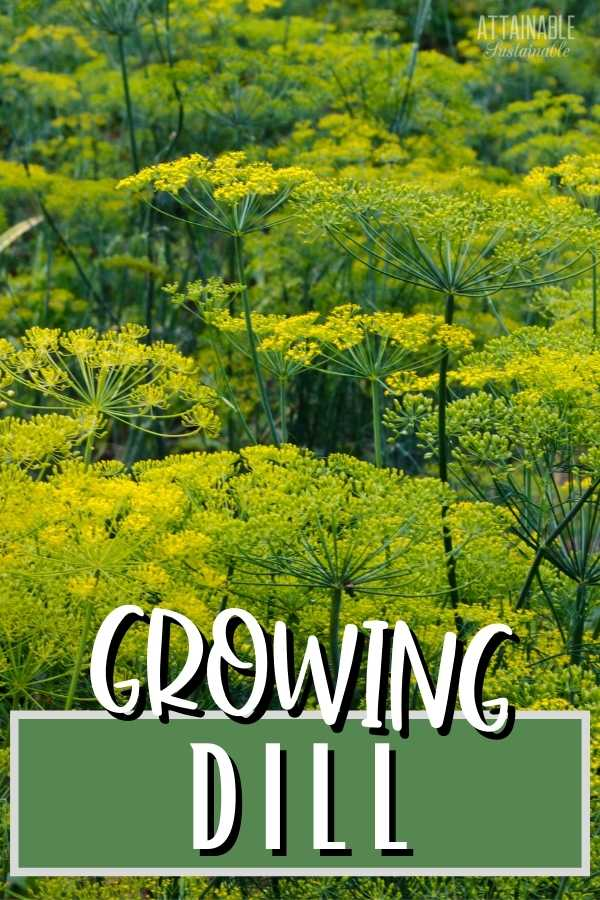 Dill plants with caption Growing Dill