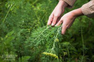 hands harvesting dill