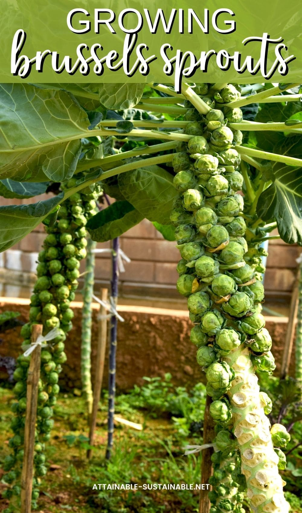 stalks of Brussels sprouts growing in a garden