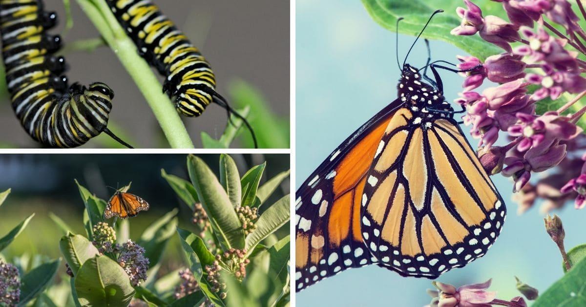 3-way collage monarch caterpillars, butterflies on flowers