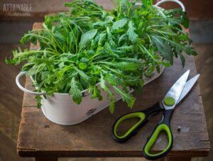 arugula growing in a white planter, scissors nearby