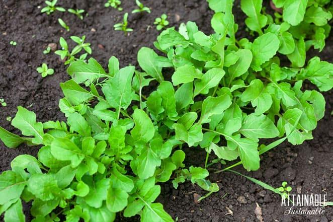 arugula growing in soil