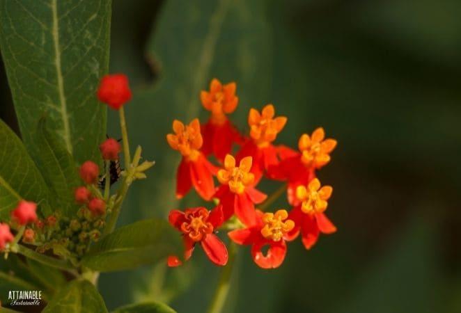 orange and red milkweed flowers