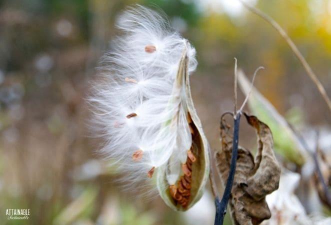 milkweed pod with white fluff