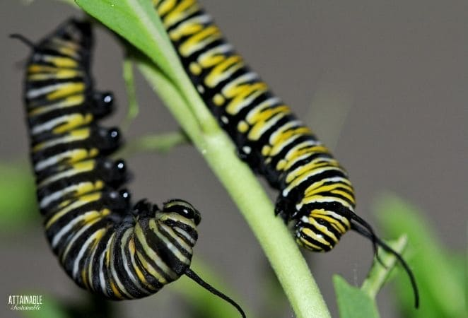two yellow and black striped caterpillars on a plant